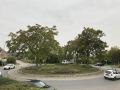 Ailanthus-altissima-YK-Mersch-N6-a