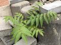 Ailanthus-altissima-YK-Mersch-N6-b