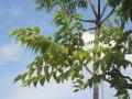 Ailanthus-altissima_Belval_2014-07-23_02