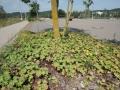 Ailanthus-altissima_Belval_2014-07-23_04