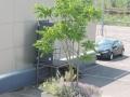 Ailanthus-altissima_Belval_2014-07-23_05