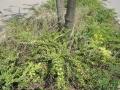 Ailanthus-altissima_Belval_2014-07-23_06