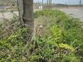 Ailanthus-altissima_Belval_2014-07-23_07
