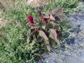 Amaranthus_cruentus_20180829_15