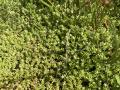 Crassula helmsii in Moukebrill near Grass. Photo: Jean-Paul Wolff, 2020-07-23.