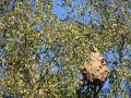 1m long nest in Esch-sur-Alzette. Photo: 2020-09-13 by Monique Rippinger