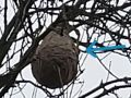 Nest of Vespa velutina in Colmar-Berg. The arrow shows the nest entry. Photo: C. Ries 2020-11-26.