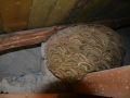 Vespa velutina nest in Beckerich. Photo: N. Schweicher, 2020-01-13