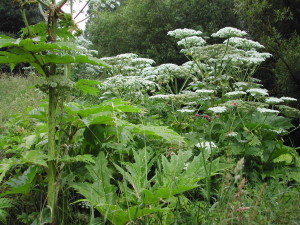 Giant hogweed in flower.