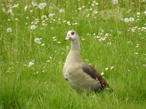 Egyptian goose on the shore of the Sûre river in Diekirch (12/05/2016)