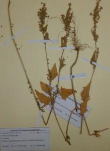 Atriplex micrantha Herbier MNHNL 2007