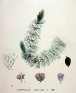 Ceratophyllum submersum, Flora Batava Vol. 19, 1893. Wikimedia Commons.